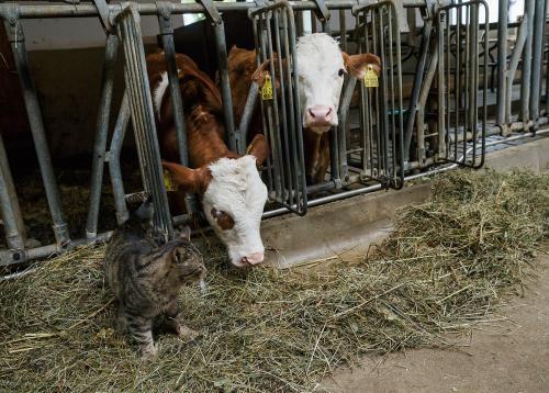 Katze und Kühe im Stall